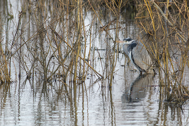 Grey Heron in the weeds