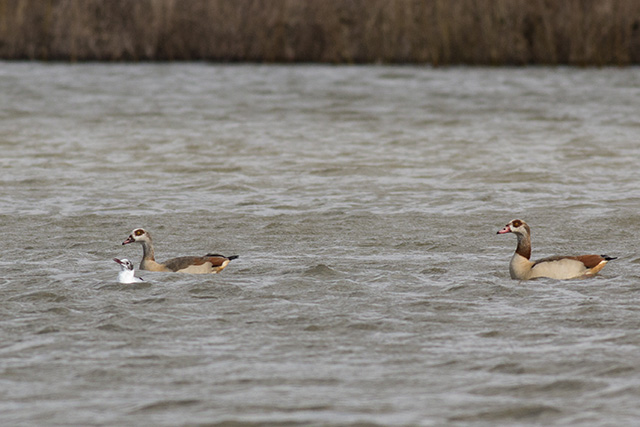 Distant swimming Egyptian Geese - a patch Tick