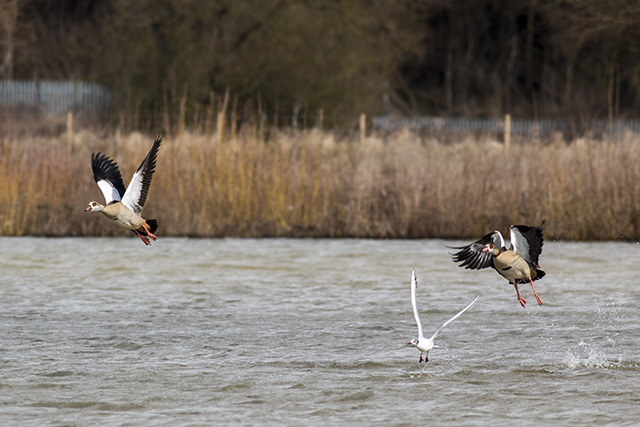 Egyptian Geese taking to flight
