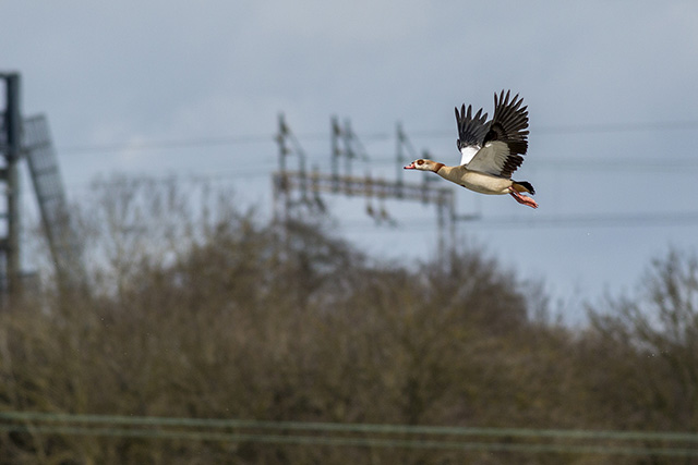 Patch Tick - Egyptian Goose