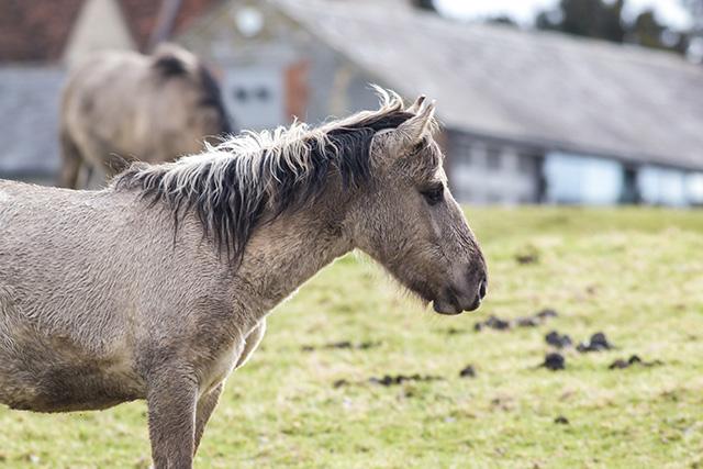 Another Konik Pony