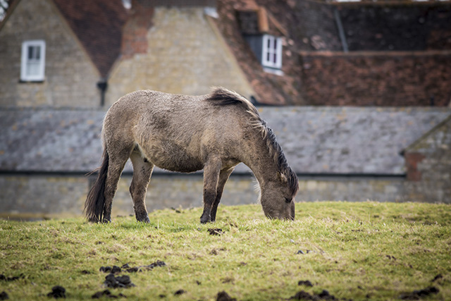 Feeding pony with farm buildings in the background