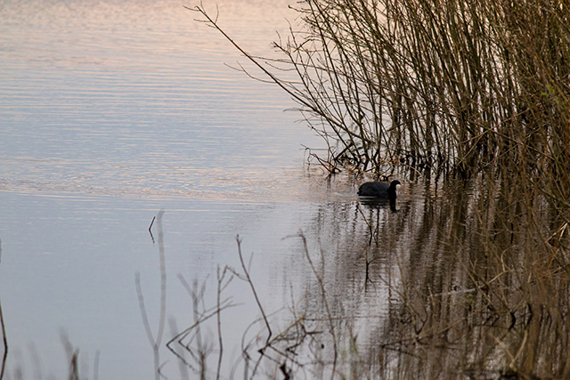 Common Coot swimming in the golden light of Dawn.