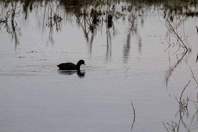Coot in the early morning