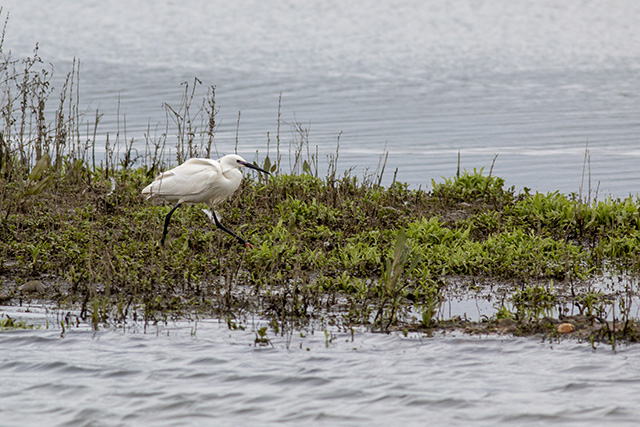 Little Egret stalking the banks