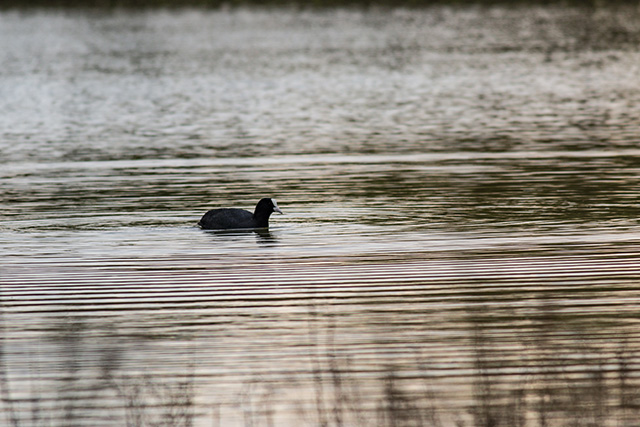 Another coot in the early morning