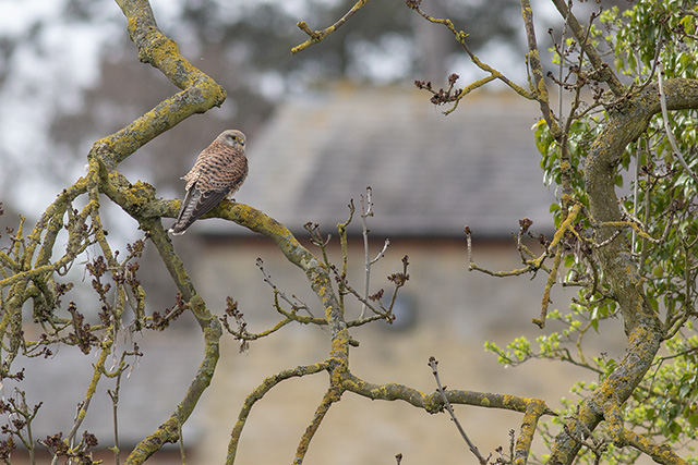 A different shot of the female Kestrel