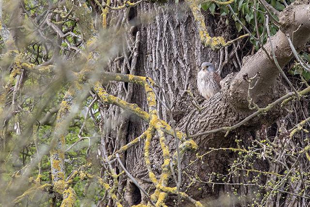 The male Kestrel