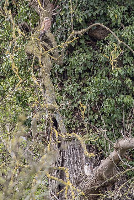 A Pair of Kestrel (Female top left, male bottom right) - Looks better large.