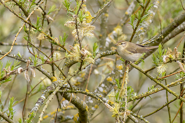 Willow Warbler (also male, I know because he kept singing).