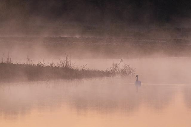 Mute Swan in the Mist