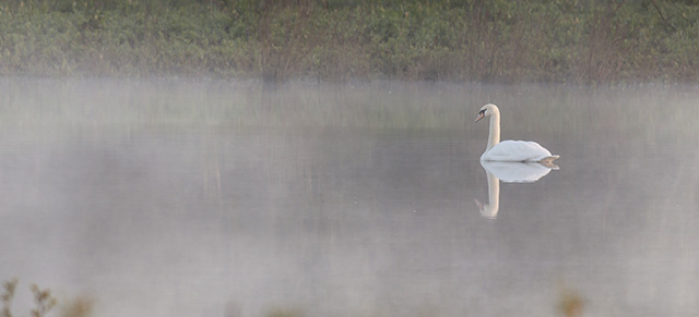 Another mute Swan in the Mist