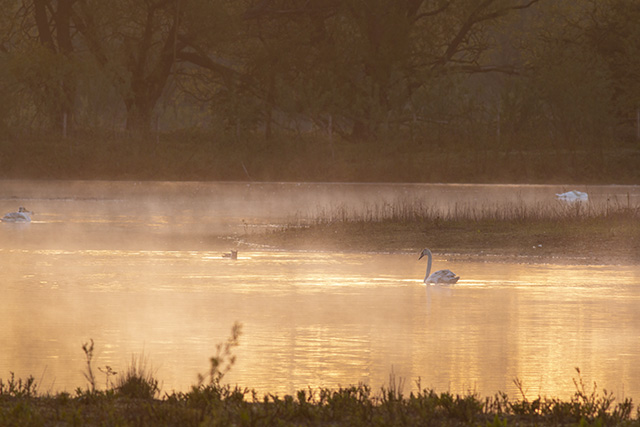 Golden Glow on the water (other end of the reserve from first swan in the mist)