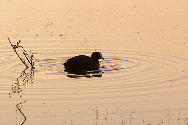 Coot in the morning light