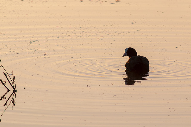 Coot looking left in the morning light