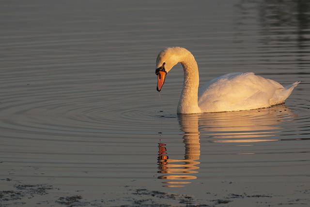 Golden Light on Mute Swan