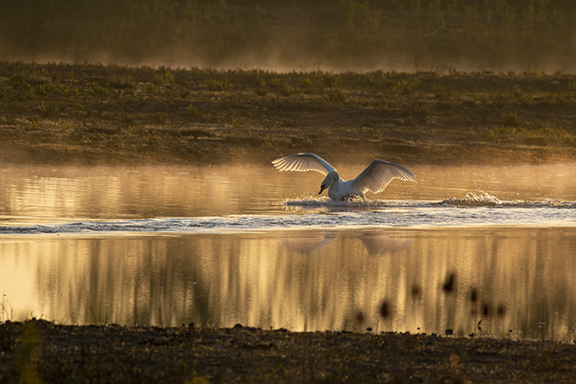 Mute Swan defending territory in golden light
