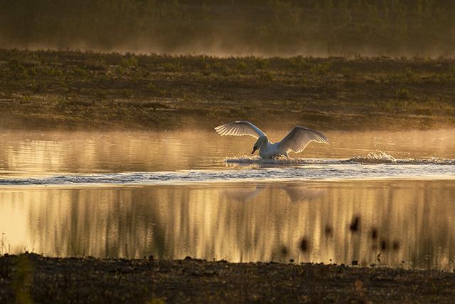 Mute Swan defending territory in golden light