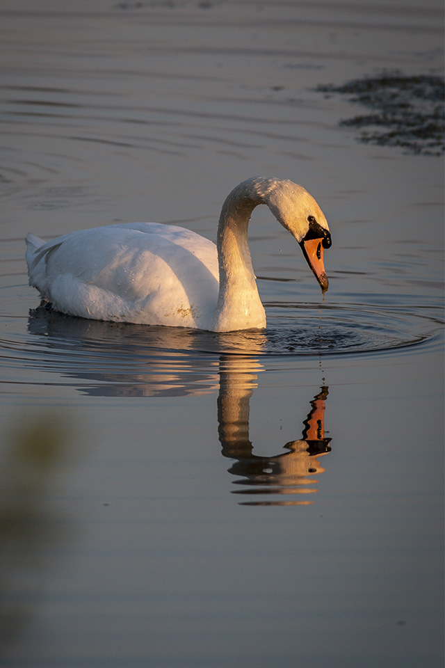 Mute Swan feeding