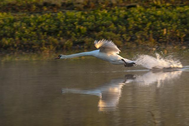 Taking Flight - Mute Swan