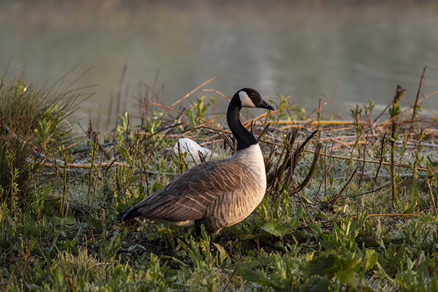 Canada Goose in the golden light