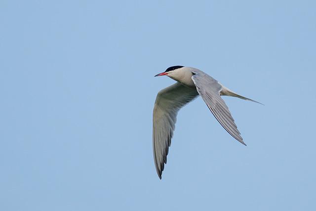 Common Tern fishing