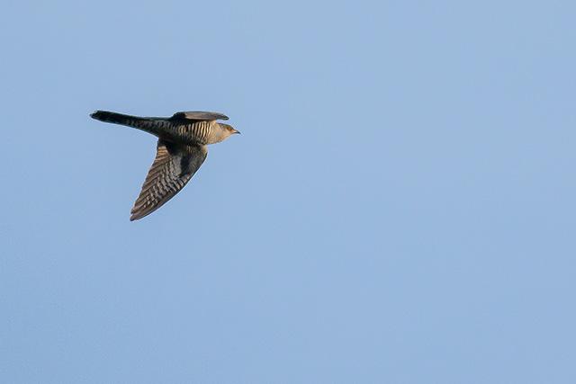 Cuckoo in Flight (my first photos of this declining bird).