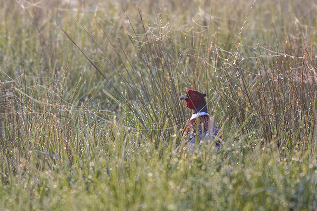 Cock Pheasant in the morning dew