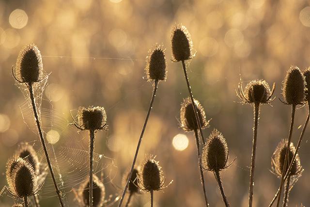 Teasels in the sun