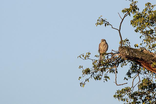 Kestrel near nest