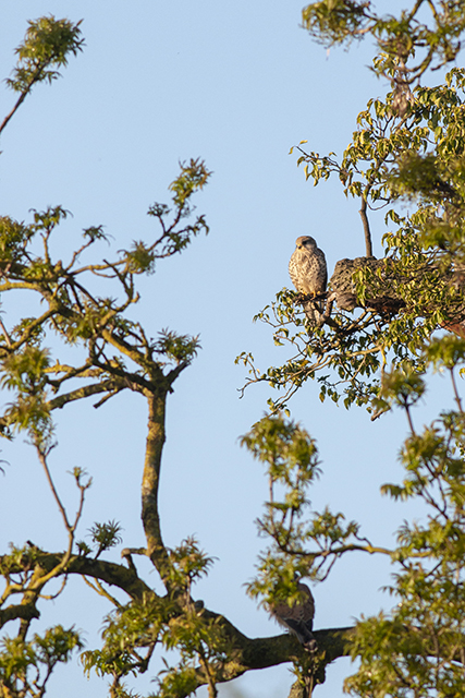 Surrounded by trees (Kestrel)