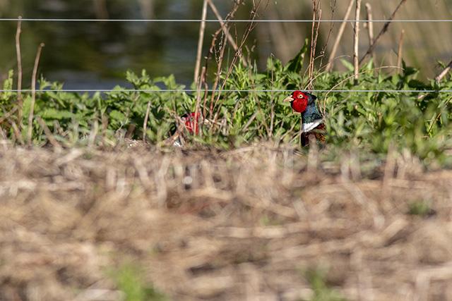 Pheasants post battle