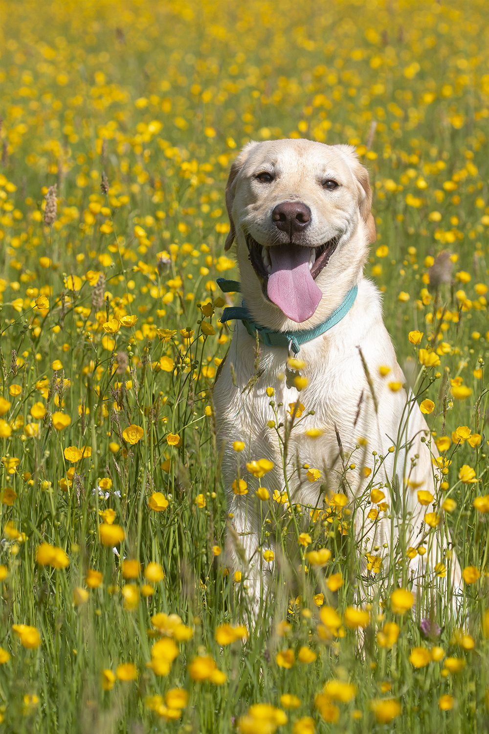 Colin looking his best in the buttercups