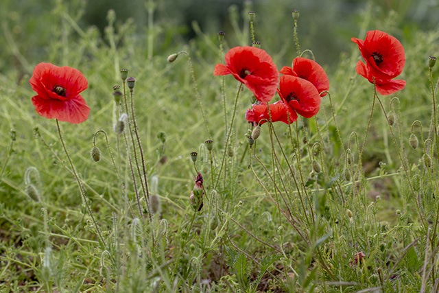 A Collection of Moments Outside - Poppies
