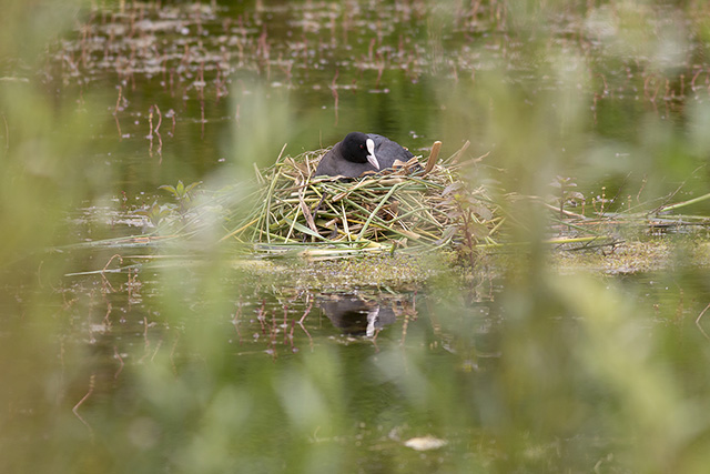 Coot on Nest