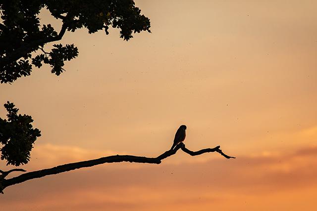 Kestrel at Sunset