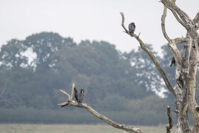 Cormorant Tree at Rutland water