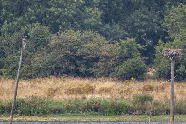 Two Juvenile Osprey at Rutland Water