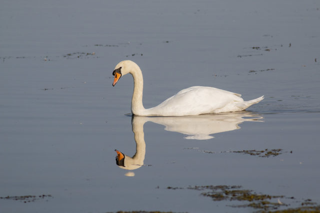 Mirror Swan Early Autumn in quiet contemplation