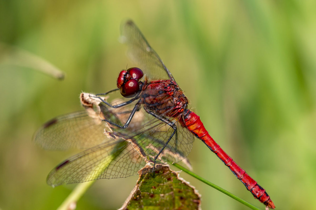Early Autumn in quiet contemplation - a ruddy darter dragonfly