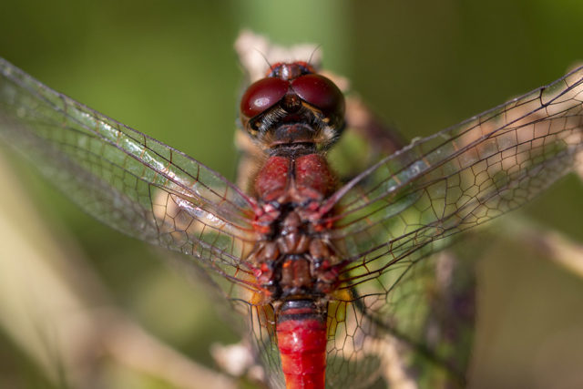 Ruddy Darter Early Autumn in quiet contemplation