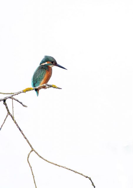 How to Photograph Kingfisher - Clean backgrounds