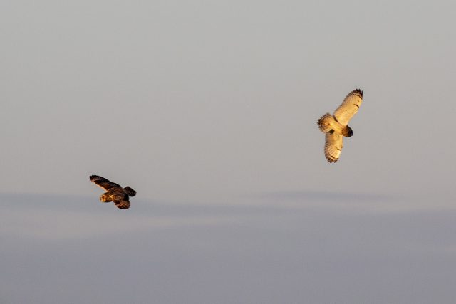 two Short-eared owl in flight - Muddy walking Routes and Special Sunset Birds