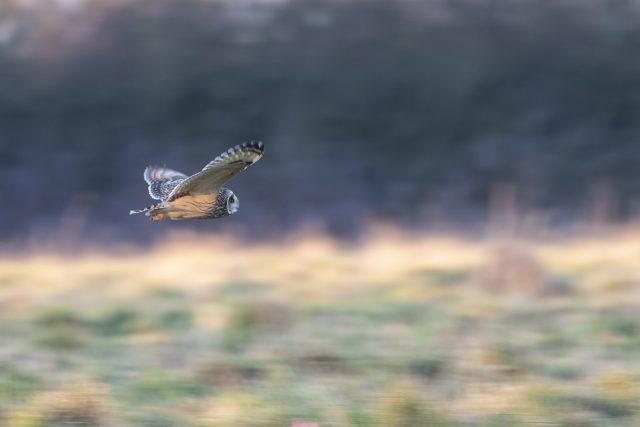 Short-eared owl dashing past