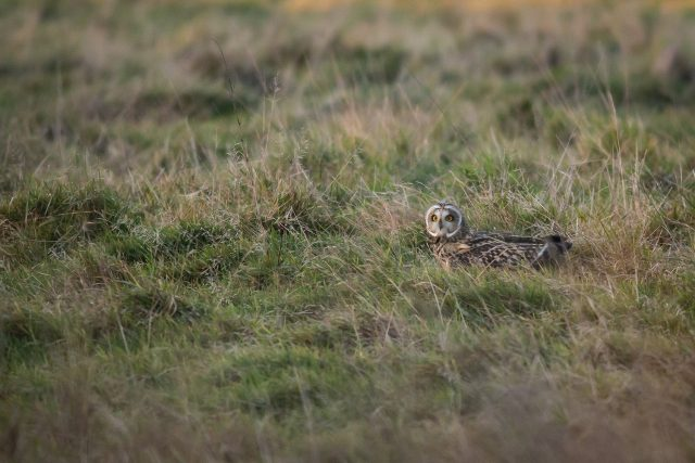 """Shortie"" (Short-eared owl) sat in the grass after a dive"