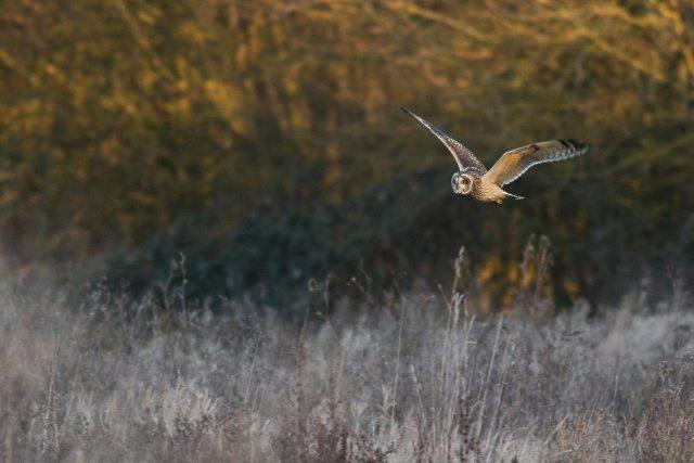 Short-eared owl fly by