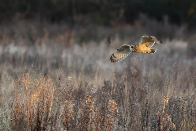 Another pass of a short-eared owl - Muddy walking Routes