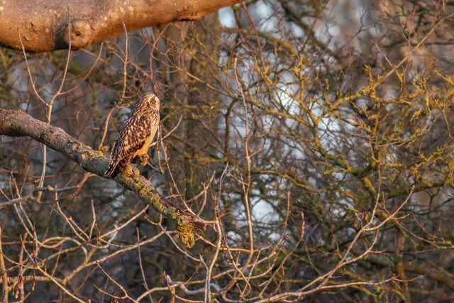 Eyes right - Short-eared owl looking right - Muddy walking Routes and Special Sunset Birds