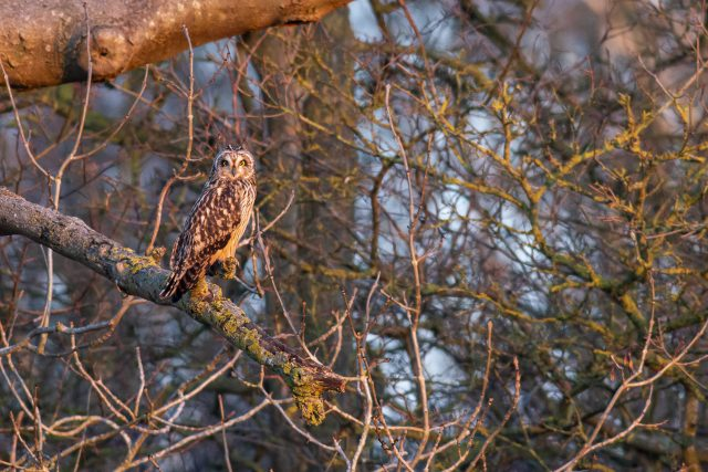 Short-eared owl perched at Sunset