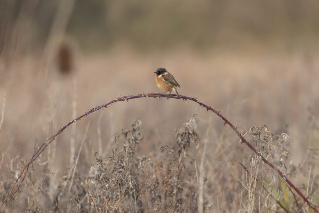 Male Stonechat on arched brambles